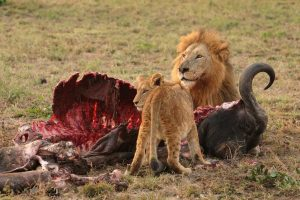 male_lion_and_cub_chitwa_south_africa_luca_galuzzi_2004_edit1