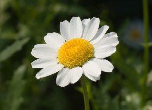 margarita-flor